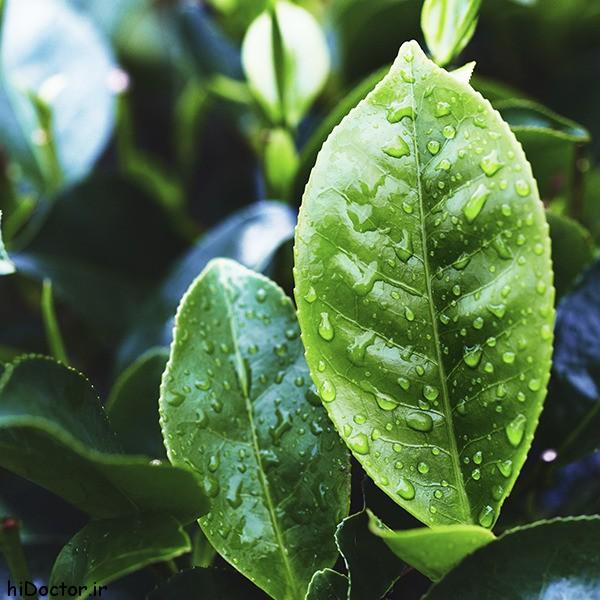 خواص درمانی روغن درخت چای