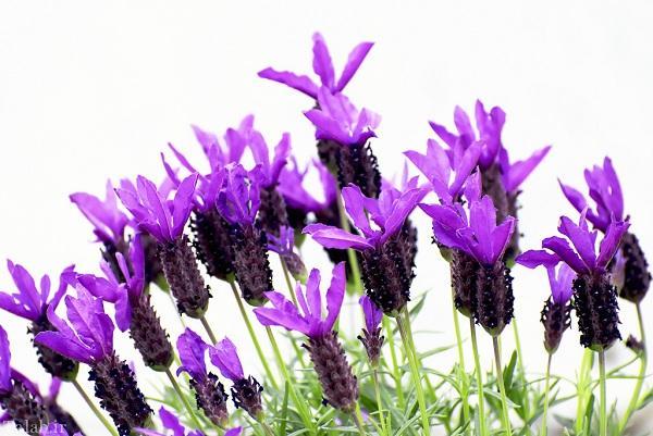 خواص درمانی و دارویی گیاه اسطوخودوس