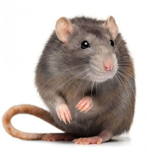 تعبیر دیدن موش در خواب