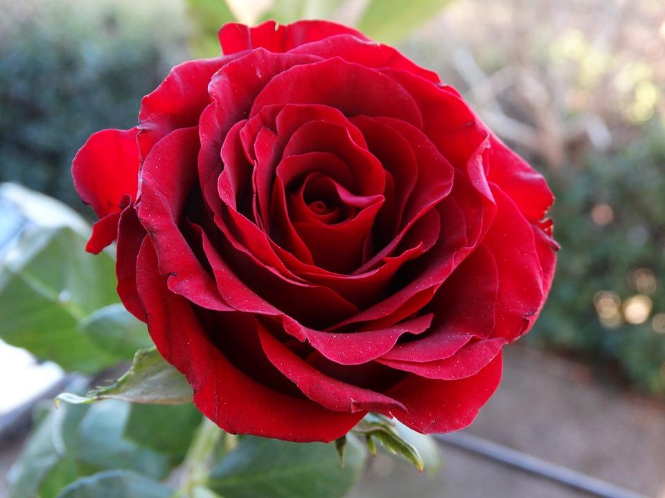 عکس پروفایل گل رز
