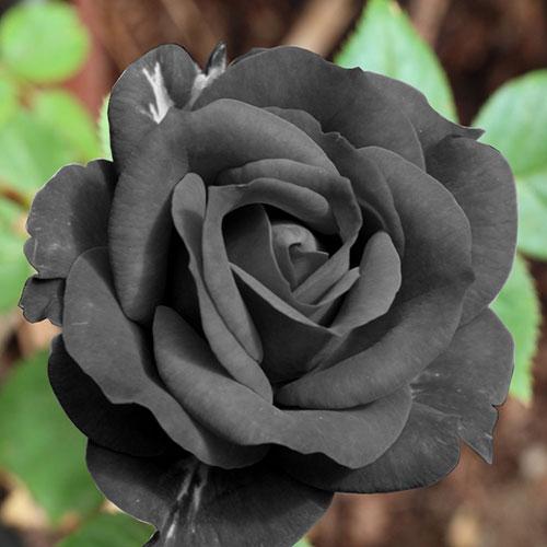عکس گل رز مشکی زیبا برای پروفایل