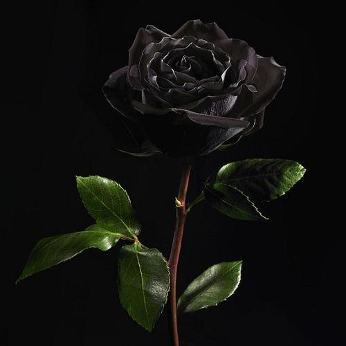 عکس گل پژمرده برای پروفایل